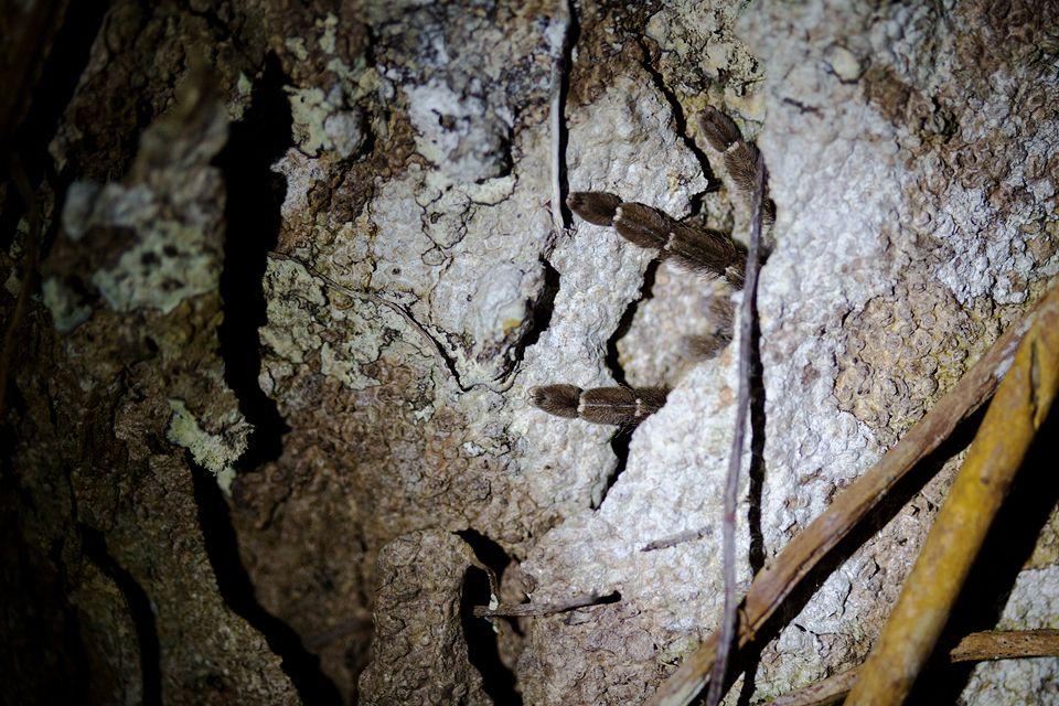 Hidden tarantula (Theraphosidae sp.). Canon 5D MKIII, Canon EF 100mm f/2.8 USM Macro, 1/80, f/2.8, iso 2000, handheld, flashlight.