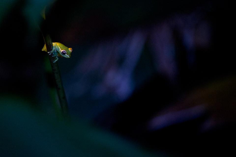 A juvenile red webbed treefrog (Hypsiboas rufitelus) hiding in the night. Canon 5D MKIII, Canon EF 100mm f/2.8 USM Macro, 1/320, f/2.8, iso 3200, handheld, flashlight.