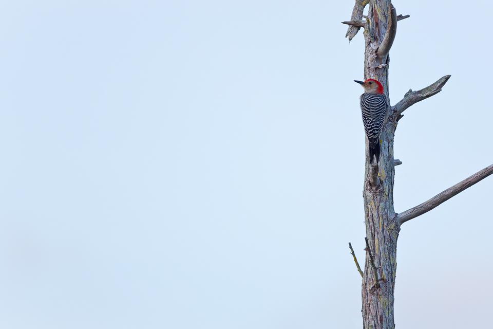 A red-bellied woodpecker (Melanerpes carolinus) on a dead tree. Canon 5D Mark III, Canon EF 400mm f/5.6 L USM, 1/500, f/5.6, iso 320, handheld.
