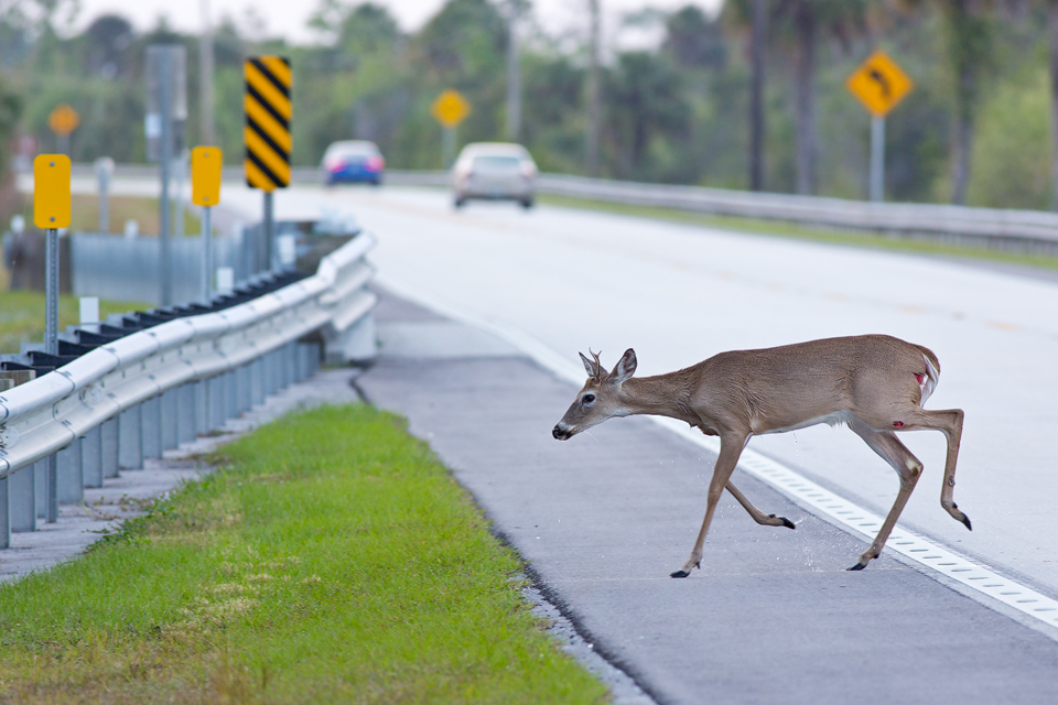Injured white-tailed deer (Odocoileus virginianus) buck crossing Tamiami Trail. Canon 5D Mark III, Canon EF 400mm f/5.6 L USM, 1/320, f/6.3, iso 400, handheld.