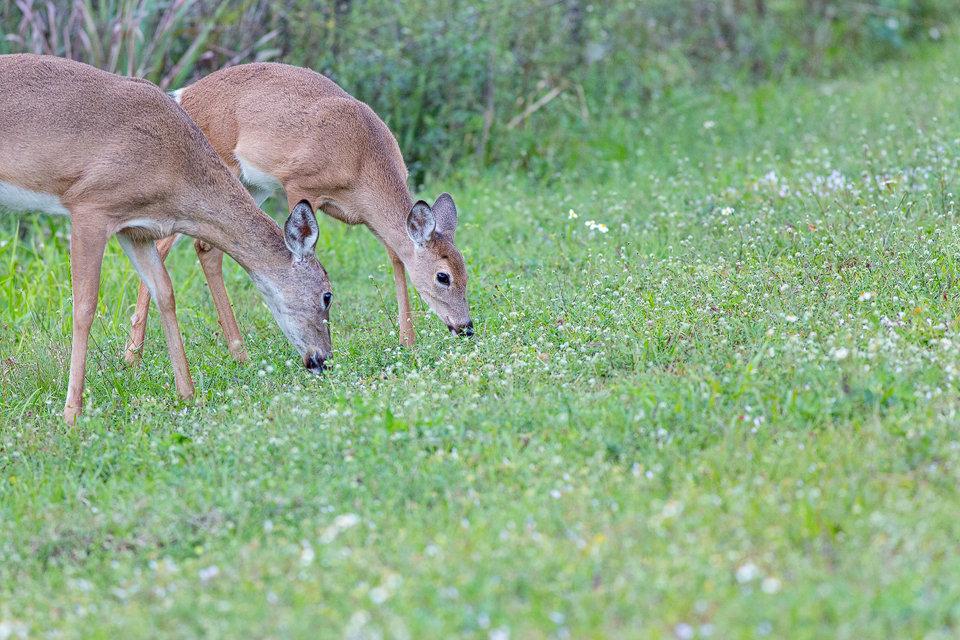 Grazing white-tailed deer (Odocoileus virginianus). Canon 5D Mark III, Canon EF 400mm f/5.6 L USM, 1/500, f/5.6, iso 2500, handheld.