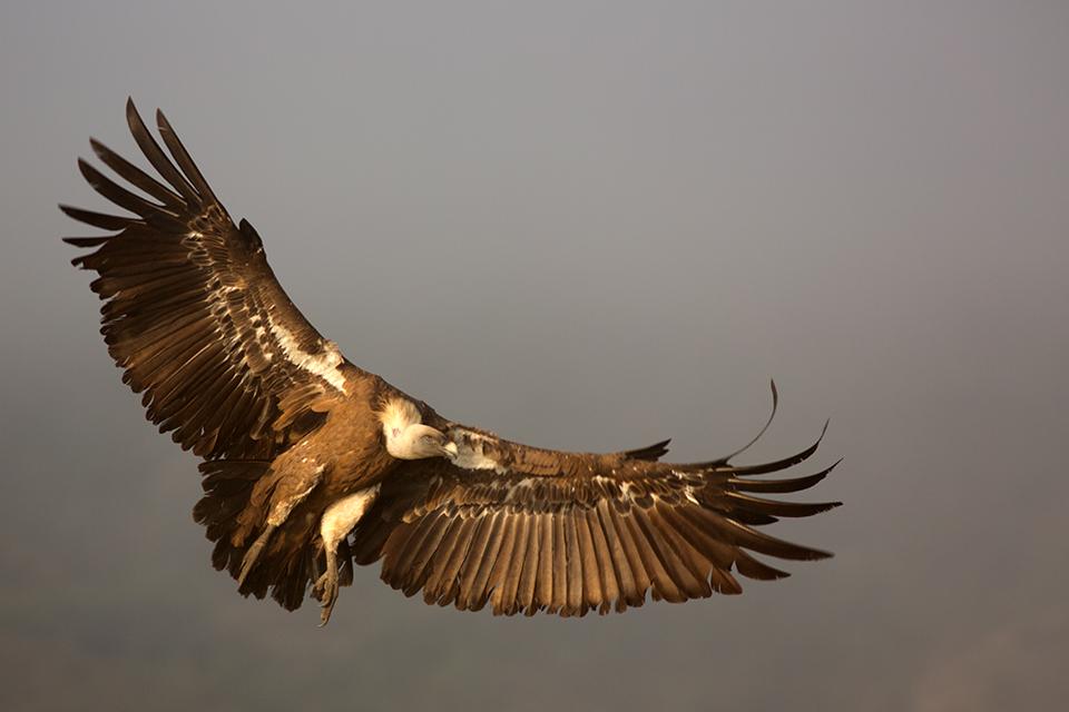A Griffon Vulture (Gyps fulvus) landing. Canon 5D MKIII, Canon EF 400mm f/5.6 L USM, 1/400, f/6.3, iso 250, tripod.