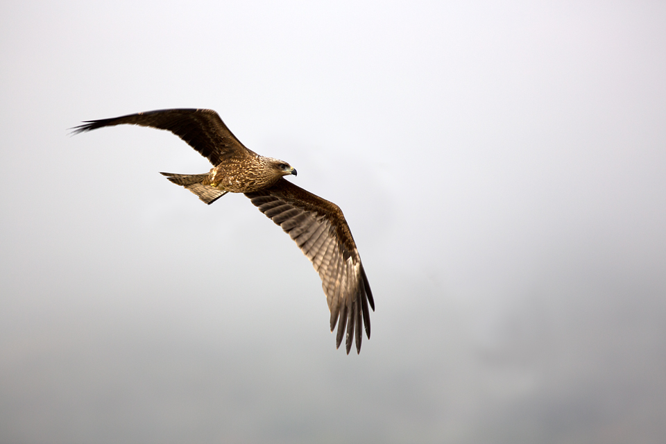 A Black Kite (Milvus migrans) swooping in. Canon 5D MKIII, Canon EF 400mm f/5.6 L USM, 1/320, f/5.6, iso 100, tripod.