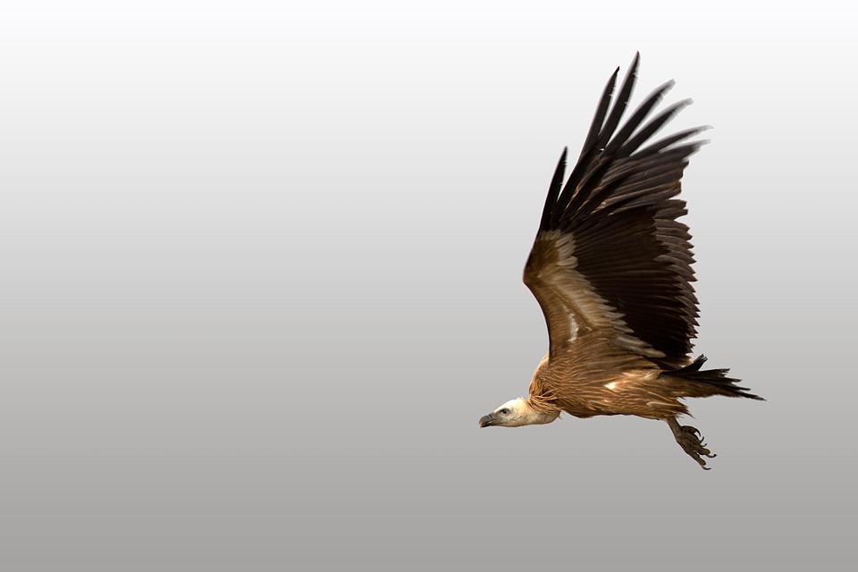 A Griffon Vulture (Gyps fulvus) in flight. Canon 5D MKIII, Canon EF 400mm f/5.6 L USM, 1/400, f/7.1, iso 200, tripod.