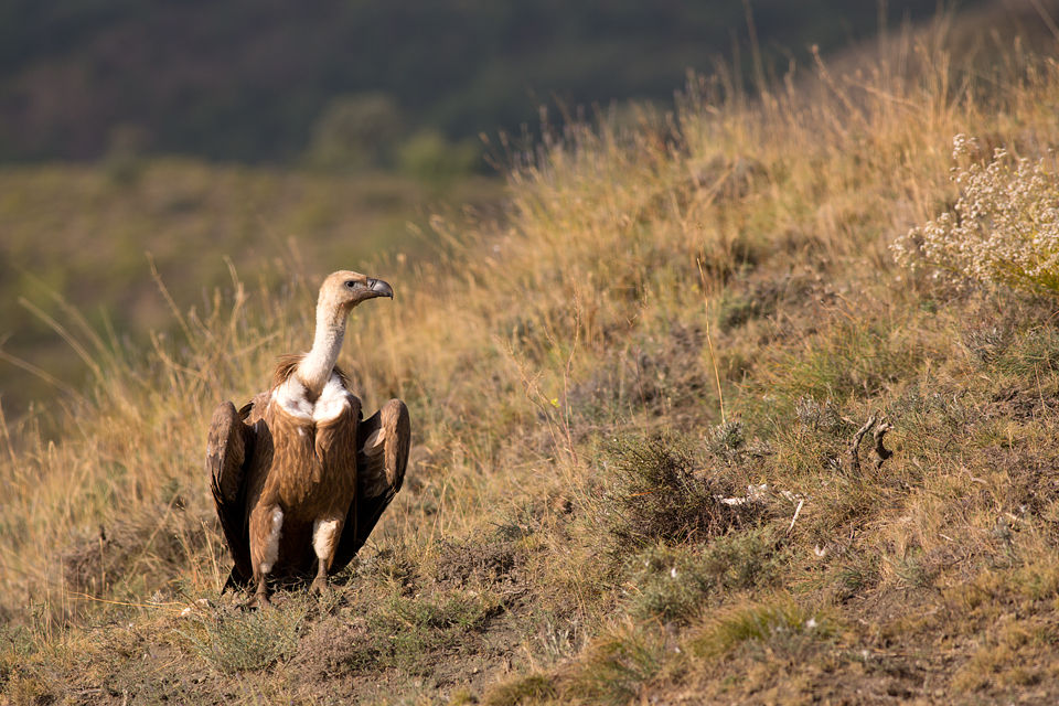A Griffon Vulture (Gyps fulvus) checking out its surrounding. Canon 5D MKIII, Canon EF 400mm f/5.6 L USM, 1/400, f/6.3, iso 200, tripod.