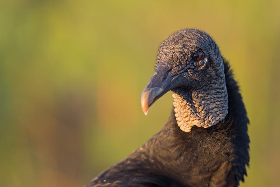 Portrait of a black vulture (Coragyps atratus). Canon 5D Mark III, Canon EF 400mm f/5.6 L USM, 1/320, f/5.6, iso 640, handheld.