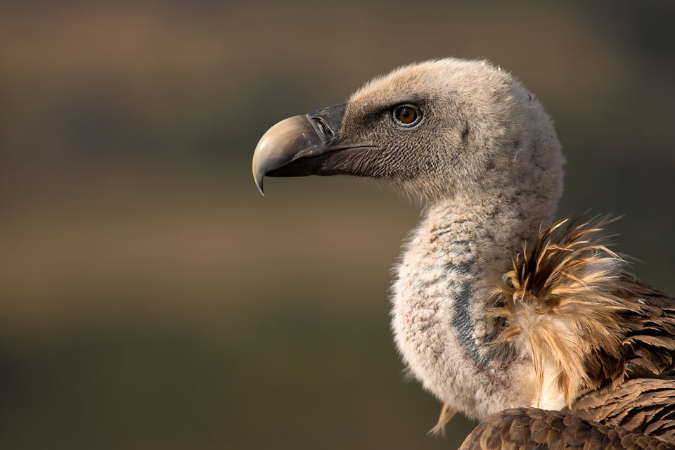 Different feather patterns on a Griffon Vulture (Gyps fulvus). Canon 5D MKIII, Canon EF 400mm f/5.6 L USM, 1/400, f/5.6, iso 100, tripod.
