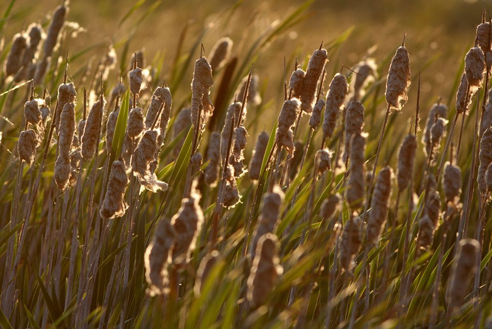 Bulrush (Typha latifoli) and a setting sun. Canon 400D, Canon EF 400mm f/5.6 L USM, 1/250, f/5.6, iso 200, handheld.