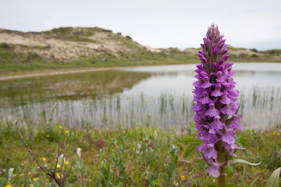 A southern marsh orchid (Dactylorhiza praetermissa) in front of a wet dune slack. Canon 50D, Canon EF-S 10-22mm f/3.5-4.5 USM, 1/200, f/9, iso 100, handheld.