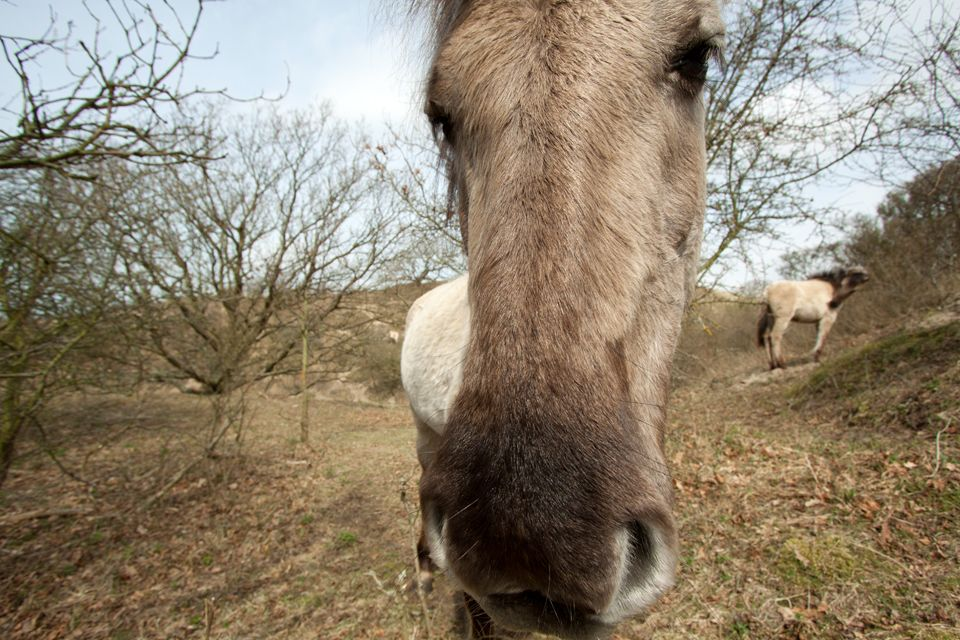 Semi-wild Konik's are used by Dunea in their nature management. Canon 50D, Canon EF-S 10-22mm f/3.5-4.5 USM, 1/250, f/7.1, iso 100, handheld.