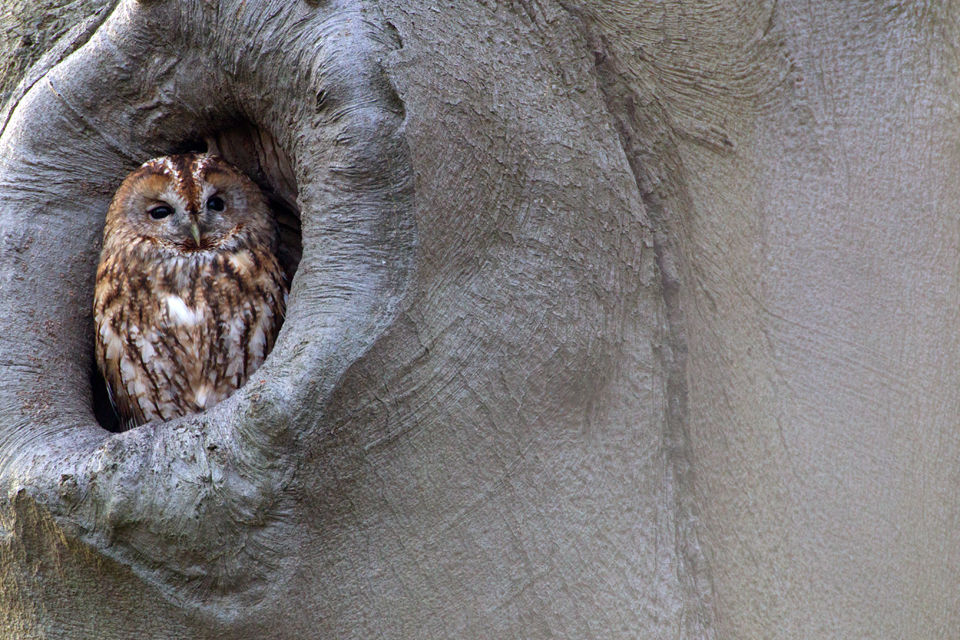 A Tawny Owl (Strix aluco). Canon 1D MKIV, Canon EF 500mm f/4L IS USM, 1/100, f/11, iso 1600, Canon EF 2x II Extender, tripod.