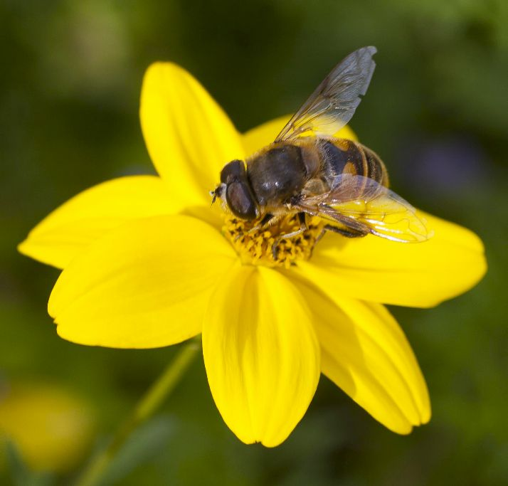 Bee drinking pollen from yellow flower