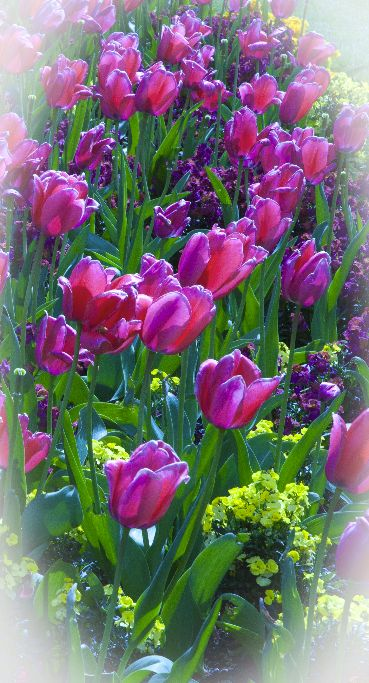 Pink Tulips & Spring Flowers ,Vignetting Effect