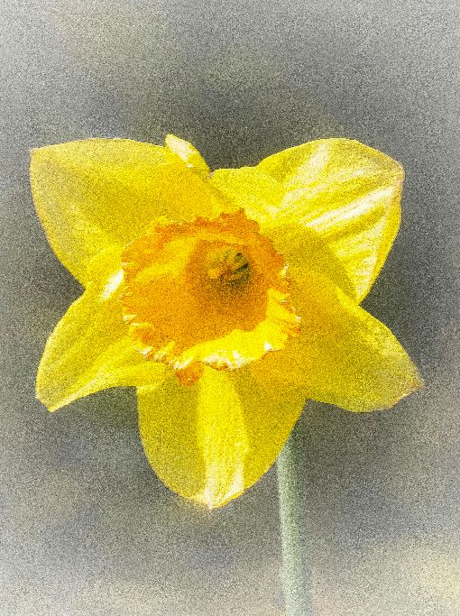 Single Daffodil with grain effect.