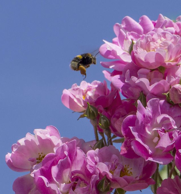 Pink roses with bee hovering