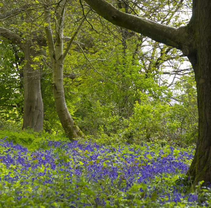 Wild Bluebell Wood at Chawton House ,Hampshire