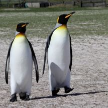a pair of King Penquins