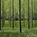 Poplars, The Lot, France