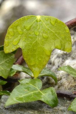 Ivy rain