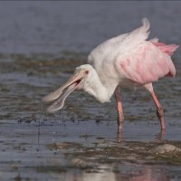 Roseate Spoonbill by Mike