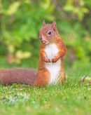 Red Squirell; Scivrus vulgaris