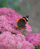 Butterfly Red Admiral Vanessa atalanta