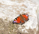 Butterfly; Peacock; Inachis io