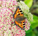 Butterfly; Small Tortoiseshell; Aglais urticae