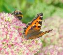 Butterfly Small Tortoiseshell Aglais urticae