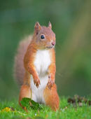 Red Squirell Sciurus vulgaris