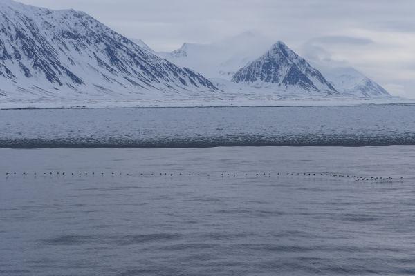Polarlomvi