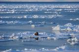 Hvalross på et isflak