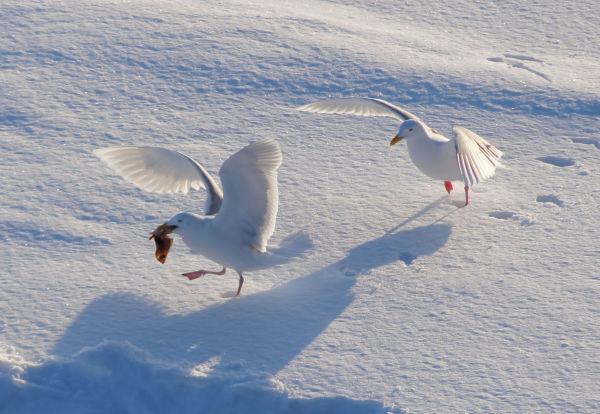 Polarmåser