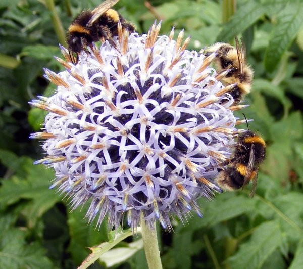 Bees pollinating on a globe thistle in Pitmedden Garden