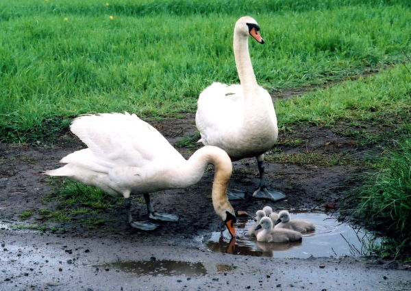Bath-time for cygnets in a puddle