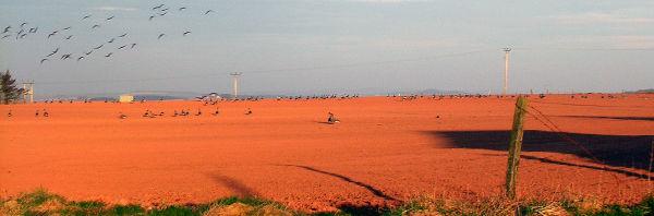 Geese at Haddo, Collieston