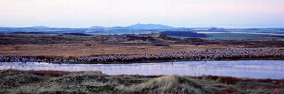 Geese at lochan, Forvie Moor