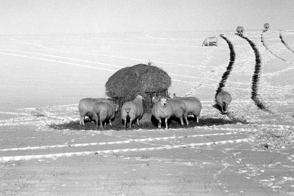 Sheep feeding in winter
