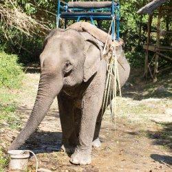 Elephant Phuket Thailand 2016