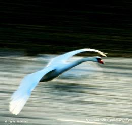 ~Concorde~ flying Swan, Galway,Ireland