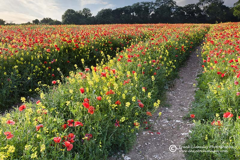 Pathway Through The Poppies