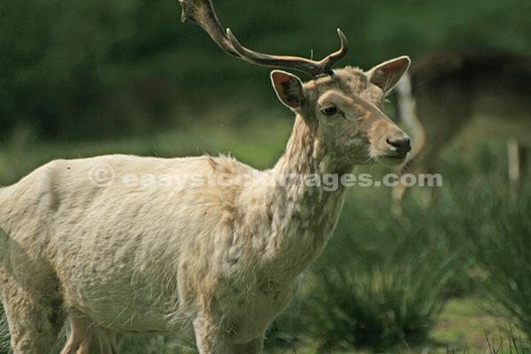 White Hart Deer