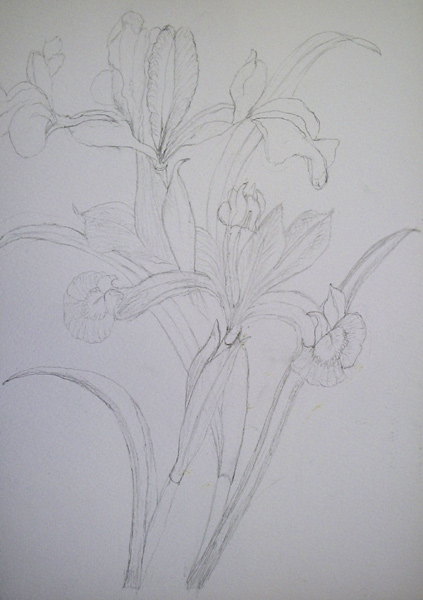 Botanical Study Drawing