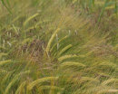 Crops & Grasses