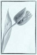 10-Single Tulip