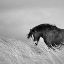 Welsh Pony B&W