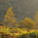 Backlit Birch