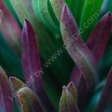 Euphorbia 01