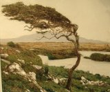 Windswept tree, Connemara