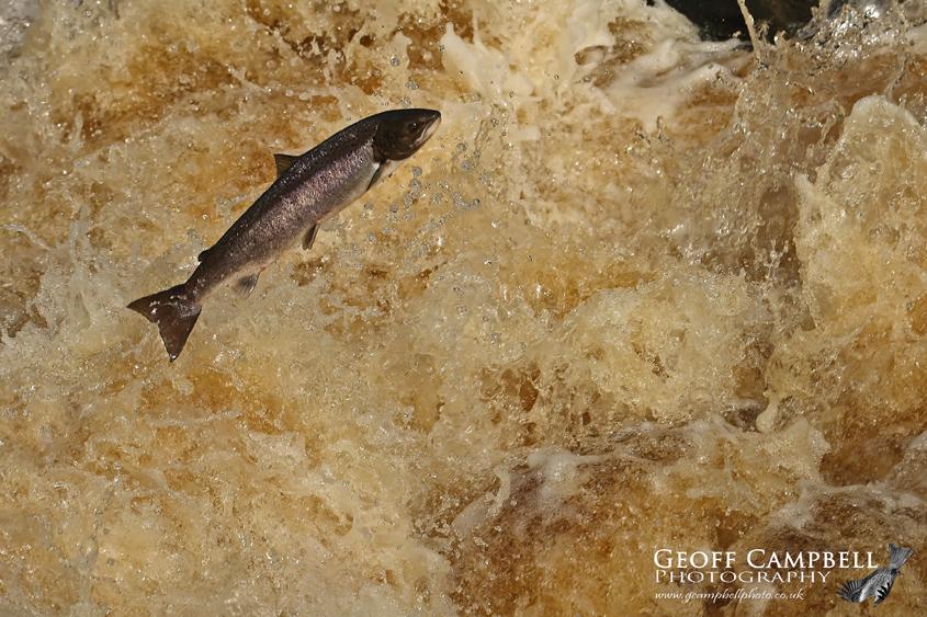 Atlantic Salmon on the River Bush